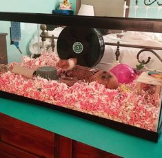 Luna is very much enjoying her pink and fluffy home 🐹 Hamster Diet, Hamster Tank, Hamster Bin Cage, Cool Hamster Cages, Hamster House, Hamster Stuff, Mammals, Amphibians, Reptiles