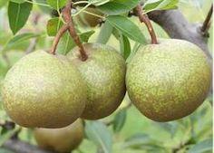 winter-nelis-pear