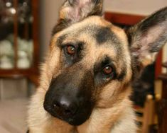 15 Things Your German Shepherd Always Wants You To Remember ...