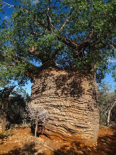 Tsimanampetsotsa Tree; Madagascar