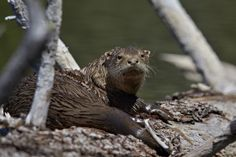 River Otter (Lutra Canadensis) Photographic Print by James Hager at AllPosters.com