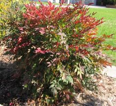nandina Domestica, Heavenly Bamboo - Red Berries, Partial to full sun  	Moderate grower to 6 to 8 ft. tall, 3 ft. wide.