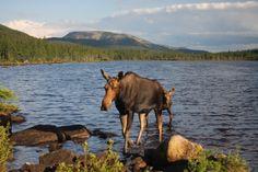 Lac du Diable Gaspesie Quebec Ontario, Canadian Wildlife, Bull Moose, Canada, Montreal Quebec, Loin, James Bond, Ottawa, Great Places