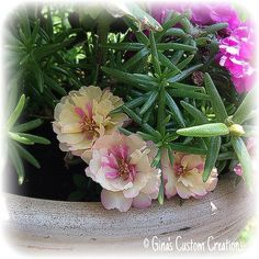 Our Portulaca blossoms... Absolutely gorgeous! | Flickr - Photo Sharing!