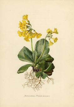 Vintage lithograph of the auricula, mountain cowslip or bear's ear from 1954 by OjiochaPrints on Etsy Vintage Botanical Prints, Botanical Drawings, Antique Prints, Botanical Flowers, Botanical Art, Primula Auricula, Nature Illustration, Nature Tattoos, Mellow Yellow