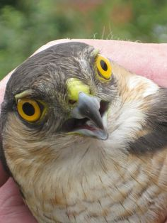 This one particular sparrowhawk