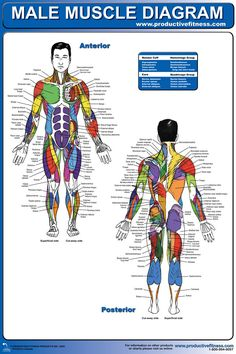 $21.95 - Ever wonder what all the names of the muscles in your body are called? This male muscle diagram poster pinpoints every muscle group by its proper name. No more guessing about what part of your body will benefit from a particular exercise. This diagram makes it easy to look up the routines that will make your workout safer. #muscle #diagram #fitness #body