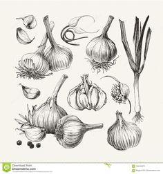 Find Ink Drawn Collection Garlic stock images in HD and millions of other royalty-free stock photos, illustrations and vectors in the Shutterstock collection. Thousands of new, high-quality pictures added every day. Botanical Drawings, Botanical Illustration, Watercolor Illustration, Drawing Apple, Chef Tattoo, Vegetable Pictures, Background Drawing, Mushroom Art, Ink Illustrations
