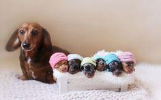 Cachorra salsicha posa com seus filhotes em lindo álbum de maternidade