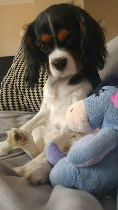 Cavalier King Charles Spaniel, 5 months, lovely Fifi.