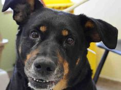Manhattan Center PEARL - A1031284 FEMALE, BLACK / BROWN, ROTTWEILER MIX, 6 yrs STRAY - STRAY WAIT, NO HOLD Reason STRAY Intake condition EXAM REQ Intake Date 03/25/2015 https://www.facebook.com/Urgentdeathrowdogs/photos/pb.152876678058553.-2207520000.1427539416./983037935042419/?type=3&theater