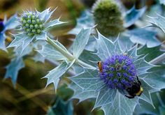 July and August: Blue and spikey, sea holly can provide an interesting change of texture in any garden. It much prefers poor to moderately fertile soil, and full sun.