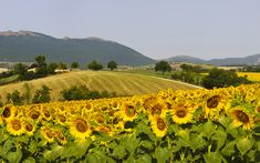Marche is an underrated region in central Italy. Here's what to see here including sunflower fields and wineries, Urbisaglia, San Ginesio, and Monti Sibillini National Park. Italian Vineyard, Sunflowers And Daisies, Sunflower Pictures, Under The Shadow, Merian, Italian Summer, Walled City, Sunflower Fields, American Country