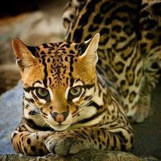 Ocelot by Beppe Verge Small Wild Cats, Big Cats, Cats And Kittens, Ocelot, Nature Animals, Animals And Pets, Beautiful Cats, Animals Beautiful, Cute Funny Animals