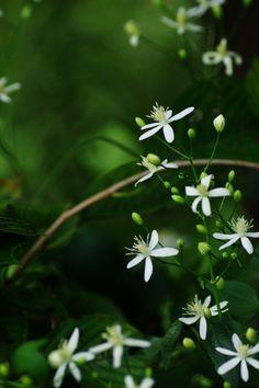 green*reblooming — uyamt: 仙人草(せんにんそう) Sweet Autumn Clematis...