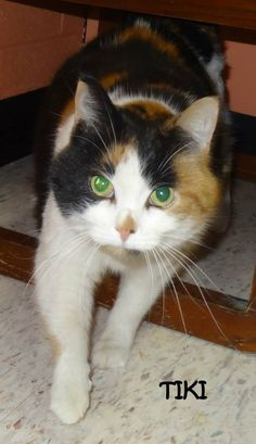 ADOPTED! AVAILABLE NOW! OWNER SURRENDER Tag# 4969 Name is Tiki  (arrived with Cole & Toni) Calico  Female-spayed  8-9 years old Front declaw Wonderful girl!!!! Located at 2396 W Genesee Street, Lapeer, Mi. For more information, please call 810-667-0236   https://www.facebook.com/267166810020812/photos/a.740693772668111.1073742089.267166810020812/740694042668084/?type=3&theater