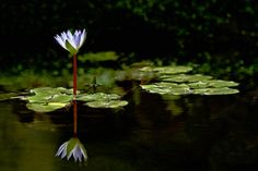 """Article: How To Photograph Flowers by Amy Renfrey. Photo: """"Night Lotus"""" captured by David L Vanderlaan."""