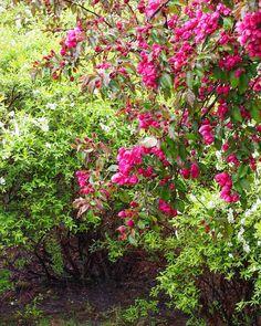 Voi tätä kesän kauneutta - valeomenapuutkin ovat valmiina kukkimaan  Ei haittaa sadekaan kun takapihalla kukoistaa #kesä #summer #summermood #flowers #flowerpower #flowerstagram #ig_flowers #puutarha #garden #ig_garden #gardenphoto #lifeisgood #mygarden #lifestyleblogger #nelkytplusblogit #åblogit
