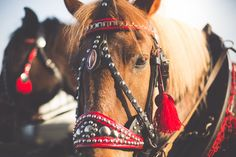 Free Image: Portrait of a Horse in Harness from Horse-Drawn Carriage   Download more on picjumbo.com!