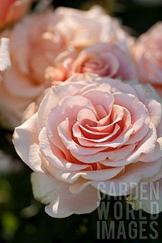 Rosa 'Marilyn Monroe' hybrid tea rose