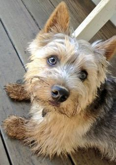 Norwich Terrier Information - Dog Breeds at thepetowners Norfolk Terrier, Norwich Terrier, Norwich Norfolk, West Highland Terrier, Dog Breeds, Terriers, Puppies, Dogs, Animals