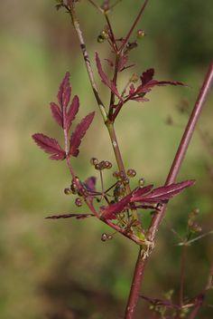 Sison amomum, une espèce observée dans le domaine national de Saint-Germain-en-Laye. (C) G. Arnal
