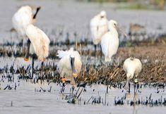 Voor hun vertrek naar het zuiden, 'vetten' deze #lepelaars nog even op in het #Lauwersmeer