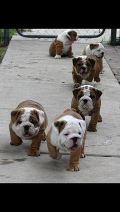 Baby Bulldogs