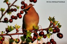 If you are interested in attracting berry-eating birds to your backyard, use this list to decide which native shrubs to plant.