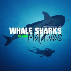 몰디브의 고래상어(웨일샤크) 이야기