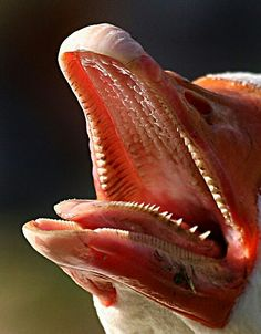 inside a goose mouth
