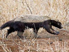 Honey Badger in South Africa - Kruger National Park