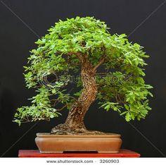 OAK: English, Quercus robur Pin, Quercus palustris Scarlet, Quercus coccinea White, Quercus alba