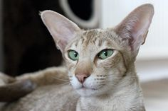 Siamese Cats Facts Hypoallergenic Cats: Fact or Fiction? Cat Breeds List, Types Of Cats Breeds, Turkish Angora Cat, Cornish Rex, Devon Rex, Chat Oriental, Cat Noises, Oriental Shorthair Cats, Hypoallergenic Cats