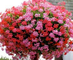 geraniums flowers -hanging baskets
