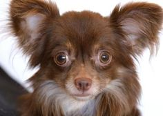 Adopt Sammy, a lovely 1 year  2 months Dog available for adoption at Petango.com.  Sammy is a Chihuahua, Long Coat and is available at the National Mill Dog Rescue in Colorado Springs,CO.   milldogrescue.org...#adoptyourfriendtoday#rescue