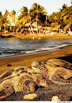 seeing these guys on the beach of Kona Village - amazing