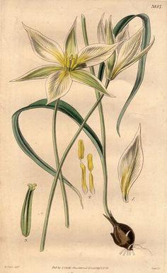 White Tulip [botanical drawing].