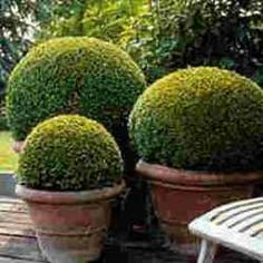 Box (buxus) plants for hedging, topiary and specimen shrubs/small trees by mail order from Boxtrees Nursery in Suffolk, UK Boxwood Garden, Topiary Garden, Garden Shrubs, Diy Garden, Dream Garden, Garden Pots, Garden Landscaping, Topiaries, Boxwood Topiary