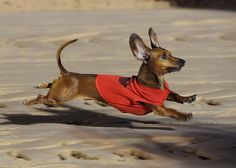 Is the secret to a doxies speed their aerodynamic shape, the way they coil their torso into a spring or is it the flapping of their ears?