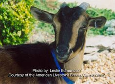 San Clemente goat: Rare American heritage breed goat that is now listed as critically endangered and now face extinction. Visit the ALBC to help save this beautiful heritage breed.