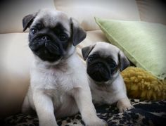 Cute Pug Puppies: