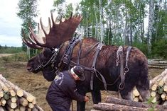 …or by moose power. | 27 Crazy Things That Can Only Happen In Alaska