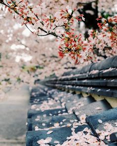 Wandering the magical streets of Kyoto during sakura season. Kyoto moments by Martin Hoffmann on flowers sakura Beautiful World, Beautiful Places, Beautiful Pictures, Sakura Cherry Blossom, Cherry Blossoms, Blossom Trees, Cherry Blossom Pictures, Cherry Blossom Wallpaper, Flower Blossom