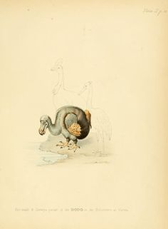 The dodo and its kindred; or, The history, affi...