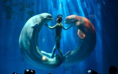 Beluga whales and their trainers present a show for visitors at Harbin Pole Aquarium in Harbin, China, on January 7, 2014.