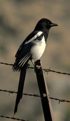 I love Magpie birds. we have them all over Utah. And I have a rescued one named Gatsby Pretty Birds, Beautiful Birds, Animals Beautiful, Pie Bavarde, Jackdaw, Bird Wings, All Birds, Colorful Birds, Bird Watching