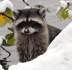 WEATHER FOLKLORE OF THE DAY: A hard winter will come if raccoon's are fat.