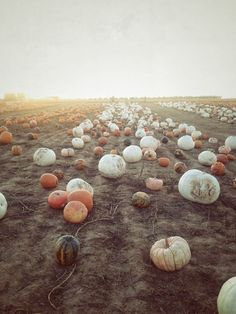 The prettiest pumpkin patch! It's almost time to harvest