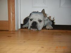 """♥ """"I just wanted to see what was on the other side of the door"""" ♥ Posted on I love English Bulldogs"""
